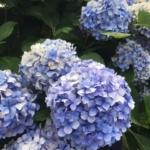夏に咲くアジサイ