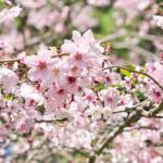 ニュージーランドは桜の季節