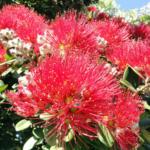 NZのポフツカワの花
